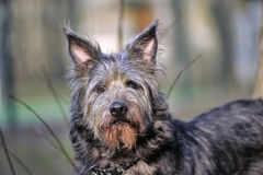 Terrier Dog Stock Images