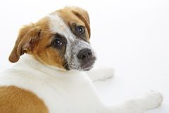 Terrier dog portrait Royalty Free Stock Image