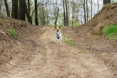 Terrier dog running by country road at spring forest Stock Image