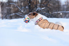 Terrier dog running at deep snow with a toy. Jack Russell Terrier inside a snowdrift Stock Photo