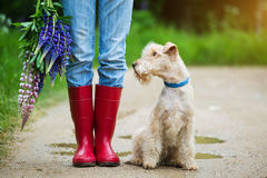 Terrier dog sitting next to a girl in rubber boots on a country road. Lakeland terrier dog sitting next to a girl in jeans and red rubber boots with a bouquet of stock images