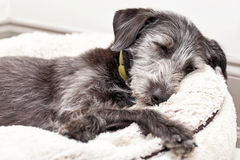 Terrier Dog Sleeping on Dog Bed Royalty Free Stock Photos