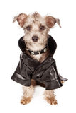 Terrier Dog With Spiked Collar and Leather Jacket Royalty Free Stock Images