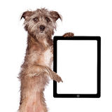 Terrier Dog Standing Holding Tablet Royalty Free Stock Photo