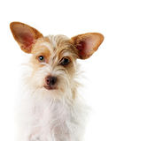 Terrier dog in studio Stock Photos