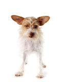 Terrier dog in studio Royalty Free Stock Photography