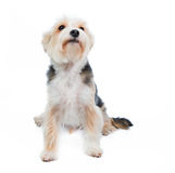 Terrier dog in studio on the white background Stock Photo