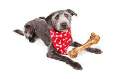 Terrier dog wearing bandanna with big bone Royalty Free Stock Photography