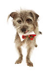 Terrier Dog Wearing Tie Licking Lips Stock Photos