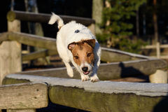 Terrier doing balancing exercise at dog park. Jack Russell Terrier training at balance beam Stock Image