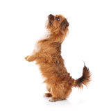 Terrier doing tricks Stock Images