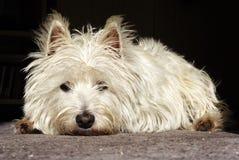 Terrier Dolorous Fotografie Stock Libere da Diritti