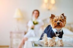 Terrier dressed as a groom in the bedroom of the bride. Bride with bouquet and white gown. Terrier dressed as a groom in the bedroom of the bride Stock Image