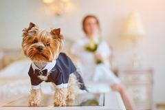 Terrier dressed as a groom in the bedroom of the bride. Bride with bouquet and white gown. Terrier dressed as a groom in the bedroom of the bride Royalty Free Stock Image