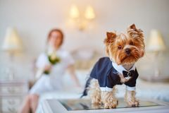 Terrier dressed as a groom in the bedroom of the bride. Bride with bouquet and white gown. Terrier dressed as a groom in the bedroom of the bride Royalty Free Stock Photo