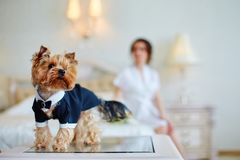 Terrier dressed as a groom in the bedroom of the bride. Bride with bouquet and white gown. Terrier dressed as a groom in the bedroom of the bride Stock Photos