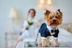 Terrier dressed as a groom in the bedroom of the bride. Bride with bouquet and white gown. Terrier dressed as a groom in the bedroom of the bride Royalty Free Stock Images