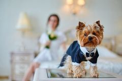 Terrier dressed as a groom in the bedroom of the bride. Bride with bouquet and white gown. Terrier dressed as a groom in the bedroom of the bride Stock Photography