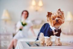 Terrier dressed as a groom in the bedroom of the bride. Bride with bouquet and white gown. Terrier dressed as a groom in the bedroom of the bride Royalty Free Stock Photos