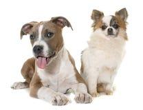 Terrier e chihuahua de Staffordshire americano do cachorrinho Imagens de Stock