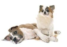 Terrier e chihuahua de Staffordshire americano do cachorrinho Fotos de Stock