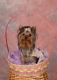 Terrier in Easter Basket. Little terrier dog in an easter basket against a pink backdrop Royalty Free Stock Photo
