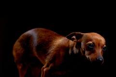 Terrier effrayé peu sur le noir Photos libres de droits