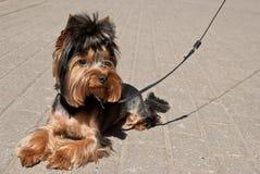 Terrier en el paseo Imágenes de archivo libres de regalías