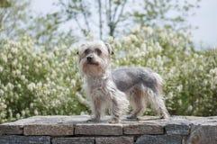 Terrier en la cerca de piedra fotos de archivo libres de regalías
