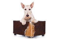 Terrier escocés Foto de archivo libre de regalías