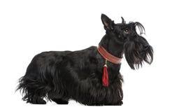 Terrier escocés Foto de archivo