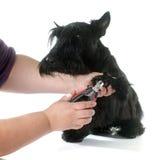 Terrier escocés Fotografía de archivo libre de regalías