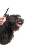 Terrier escocés Imagen de archivo libre de regalías