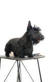 Terrier escocés Imagen de archivo
