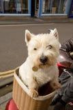 Terrier escocés en cesta de la bici Imágenes de archivo libres de regalías