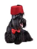 Terrier escocés en Fes Fotos de archivo libres de regalías