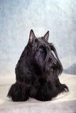 Terrier escocês 08 foto de stock royalty free