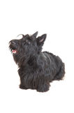 Terrier escocês Fotografia de Stock