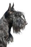 Terrier escocês Fotografia de Stock Royalty Free