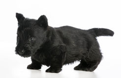 Terrier escocês Imagem de Stock Royalty Free