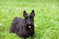 Terrier escocês Imagens de Stock Royalty Free