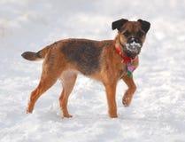 Terrier escocês de Boder na neve Imagens de Stock