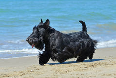 Terrier escocês na praia Fotografia de Stock Royalty Free