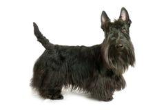 Terrier escocés Fotografía de archivo