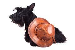 Terrier escocés que se sienta Fotografía de archivo