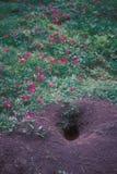 Terrier et fleurs de crabot de prairie Images stock