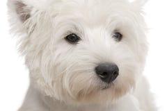 terrier för 8 västra white för höglands- månader Royaltyfri Bild