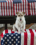 Terrier with flags for July 4 Royalty Free Stock Images