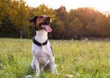 Terrier Fox Стоковые Фото