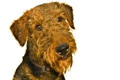 terrier för hund för airedale nyfiket isolerad uttryck Royaltyfri Fotografi